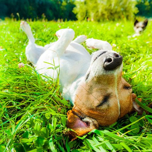 Koira makaa selällään nurmella.